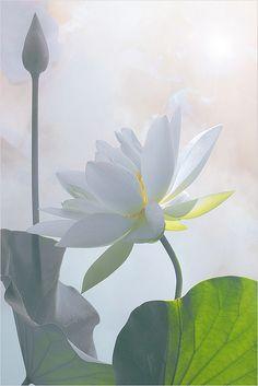 Lotus Flower Surreal Series: DD0A9853-1000