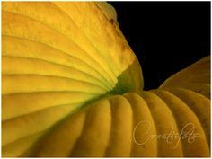 Kristen Olivares-Fine Art Photography- Elephant ear leaf