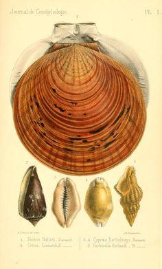Journal de conchyliologie, 1861