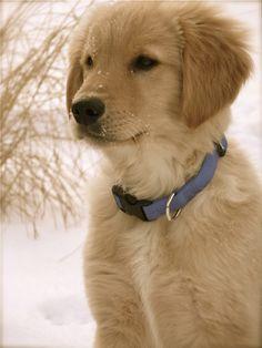 golden retriever pup, Big George