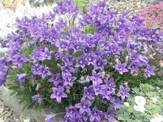 Campanula aucheri - Google Search