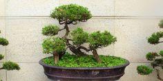 62955a_bonsai