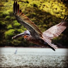Pelican at Megans Bay, St Thomas, US Virgin Islands. Photo by mrtravelmore Us Virgin Islands, British Virgin Islands, St Thomas Vi, Caneel Bay, Virgin Gorda, Yearning, Caribbean, Friends, Instagram Posts