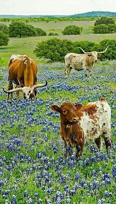 Texas Longhorns grazing in a field of Blue Bonnets. I have always wanted to visit Texas! Especie Animal, Mundo Animal, Texas Bluebonnets, Texas Longhorns, Longhorn Rind, Longhorn Cattle, Longhorn Steer, Texas Forever, Loving Texas