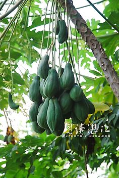 Fruit on male papaya tree Papaya Plant, Papaya Tree, Weird Fruit, Strange Fruit, Different Fruits And Vegetables, Fruit And Veg, Colorful Fruit, Tropical Fruits, Fruit World