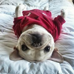 This is a French Bulldog I don't really know if this one in particular was born in France but it is purty