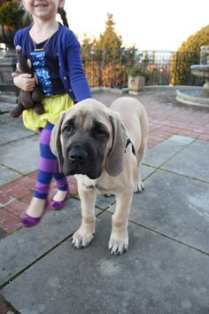 English Mastiff Puppy at 14 weeks and 50 lbs....