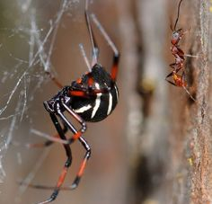 North Black Widow Spider.