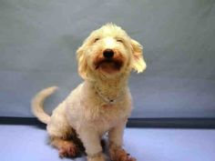 CARALAMPIO – A0887753  **RETURNED 9/8/16**  NEUTERED MALE, WHITE, POODLE MIN / MALTESE, 6 yrs OWNER SUR – ONHOLDHERE, HOLD FOR ID Reason PETS CONFL Intake condition EXAM REQ Intake Date 09/08/2016, From NY 10454, DueOut Date 09/08/2016,