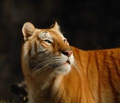 GOLDEN BENGAL TIGER (by a walk on the wild side nature photography)