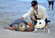 Captain Ron is a Beagle detection dog that sniffs out Sea Turtle eggs so that conservations can protect them!