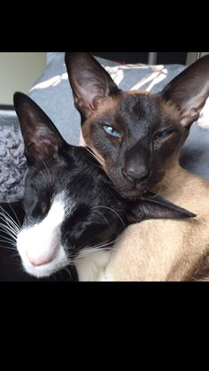 Siamese cat and oriental shorthair live to cuddle !