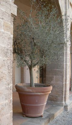 Marseille Courtyard....and the perfect potted Olivier