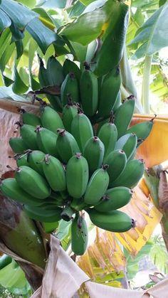 Türkiyede yetişen muz Fruit World, Farmers Almanac, Plant Information, Beautiful Fruits, Tropical Fruits, Fruit Trees, Gardening Tips, Harvest, Foods