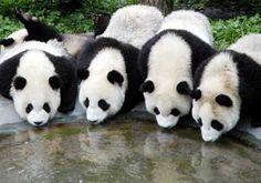 Pandas drinking water
