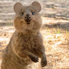 803 Best QUOKKAS images   Quokka, Happy animals, Cute animals