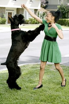 Giant Schnauzer wanted one of thess.  Joaquin gave me instead Greta, Rita and Max Von Wilkins