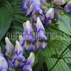 image de Aconitum cammarum Bicolor Planting Flowers, Photos, Coin, Dimensions, Gardens, Unusual Flowers, Plants, Index Cards, House