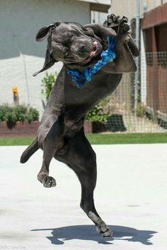 I got it! #jump #mastiff #ropetoy