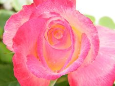 I Saw Trippy Colors in the Garden by Mary Sedivy. Ethereal red and white Double Delight roses bring to mind thoughts of lazy summer afternoons spent outdoors and other trippy thoughts we shouldn't mention here. Relax, slow down and take the time to smell the sweetly scented roses, and you'll never look at a sublime rose bush the same way again. Orange Roses, Pink Roses, Rose Petals Image, Double Delight Rose, Mind Thoughts, Rose Illustration, Colorful Roses, Rose Bush, Rose Photos