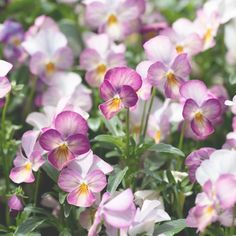 The pendulous, tassel-like blooms are the most exquisite shade of dusty pink that resembles sun faded velvet. Flower Food, Cactus Flower, White Hibiscus, Pink Plant, Pansies, Violas Flowers, Plant Nursery, Diy Headband, Types Of Plants