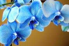 Studio Girasole: Blue Mystique