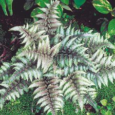 Athyrium Plant - Metallicum - Dobies of Devon. prefers full shade!