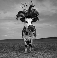 Oh La Vache! (HOLY COW!)  One of a series of photographs by famed French Fashion Photographer, © Jean-Baptiste Mondino of cows wearing exquisite couture hats and headgear from famous milliners.