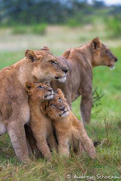Family hug, lions
