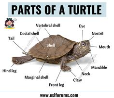 Turtle Anatomy: Useful Parts of a Turtle with ESL Picture! - ESL Forums