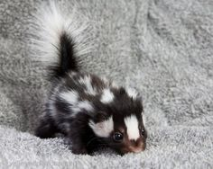 baby skunk... Stand back... Babies cannot control backside!!!
