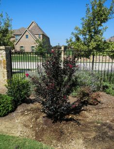 Black Diamond Crape Myrtle planted in Dallas, Texas by Treeland Nursery. Myrtle Tree, Powdery Mildew, Black Leaves, Dallas Texas, Flower Beds, Red Flowers, Black Diamond, Garden Landscaping, Shrubs