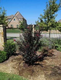 Black Diamond Crape Myrtle - Dallas, Texas - Treeland Nursery