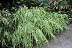 Hakonechloa Macra 'Albo Striata' Short Plants, Nursery, Herbs, Garden, Garten, Room Baby, Herb, Gardens, Baby Room