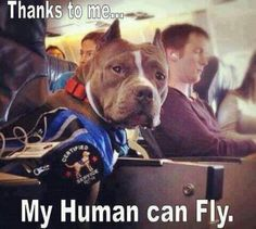 Pit Bull Service Dog ♥ If you need to take your dog with you when you travel check this out. You pay for certification, follow the instructions, and bingo...you and your dog fly first class.(of course you pay for that too)