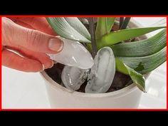 Bitkinin Köküne Buz Koydu Mucizeye Tanık Oldu ! - YouTube