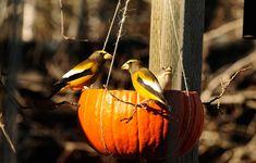 Pumpkin Bird Feeder Makes a Happy Harvest For Birds Provide a seasonal feast for the birds in your area with this DIY activity. Hanging Bird Bath, Baby Dekor, Bird Guides, Audubon Birds, Diy Bird Feeder, Diy Pumpkin, Pumpkin Crafts, Little Birds, Gourds