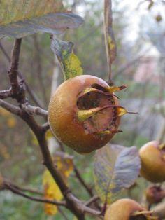 Früher war die Mispel sehr beliebt, wurde im Laufe der Zeit aber von Birnen und Äpfeln verdrängt. Finde heraus, warum du die gesunde Frucht nutzen solltest! - bild von fredburton CC BY-SA 3.0
