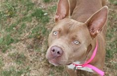 Hello, my name is Sandy! I am a mellow girl who enjoys walks and I LOVE affection from both big and small humans.  I would like to be with a family who can give me attention and a nice squishy bed to lie in!  Do I sound like the perfect pup for you? Call the Humane Society today for more info about meeting me!