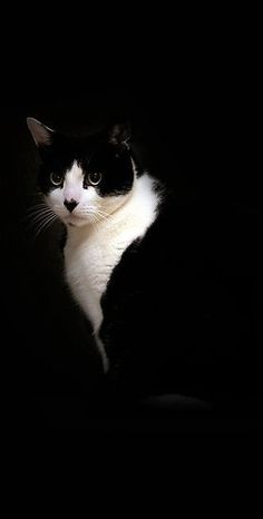 Very striking black and white cat photo. Pretty Cats, Beautiful Cats, Animals Beautiful, Cute Animals, I Love Cats, Cool Cats, Crazy Cats, Photo Chat, Tier Fotos