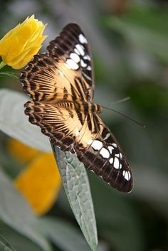 Butterfly  - previous pinner does not give a name.  That does not take away from it's beauty.