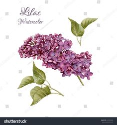 Flowers set of hand drawn watercolor lilac and leaves. Illustration