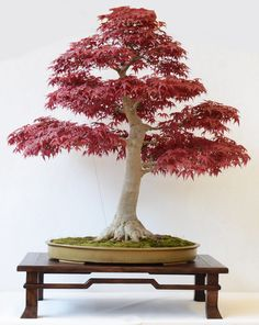 Erable palmé - Acer deshojo / Bonsai Club de Suisse Romande/ Exposition Trophée des Clubs 2015 - Bonsai / Reportage dans Esprit Bonsaï 76/Report in Esprit Bonsai International 76