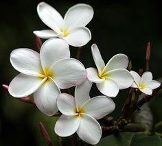 Plumeria Samoan Fluff Tropical Backyard, Plant Identification, Dream Garden, Botany, Storytelling, Kai, Hawaiian, Beautiful Flowers, Tattoo Ideas