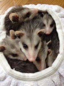 Johns Creek | Squirrel Raccoon Rat Bat - http://animaltrappingremoval.com/ga/johns-creek-squirrel-raccoon-rat-bat/