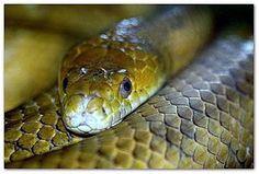 Identify a Venomous Snake