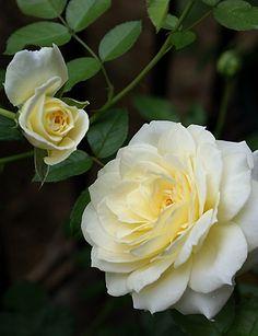 'Marie Antoinette' est un petit buisson aux fleurs très parfumées blanc crème, disposées en grappe. Floraison de mai aux gelées. Hauteur : 70 cm. Floribunda. Très peu de renseignements sur ce rosier.