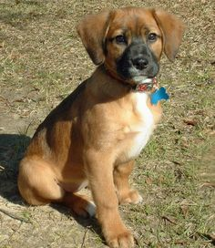 German Shepherd Beagle Mix Warm Hearted Love Pinterest Dogs