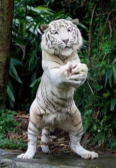 tiger big cats like to play too Big Cats, Cool Cats, Cats And Kittens, Siamese Cats, Cute Baby Animals, Animals And Pets, Funny Animals, Wild Animals, Tiger Pictures