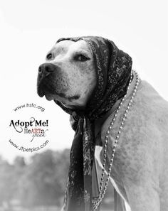Hope was adopted!  Ambassador Pit Bull Alliance | www.ambassadorpitbulls.org